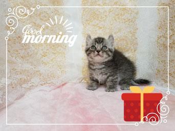 子猫格安販売!猫の部屋セイワ。可愛いアメリカンカールの子猫です。おとなしい。