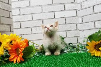 大宮猫の部屋 ブリーダー直販 子猫格安