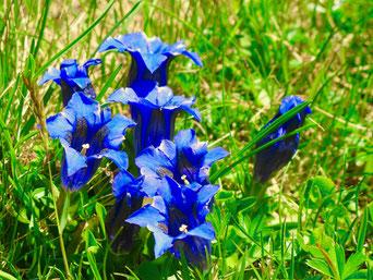 Enzianblüte auf der Fedoz-Alp