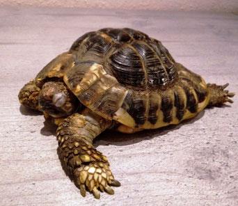 Landschildkröte / Schildköte; schlecht aus Winterschlaf; Tierarzt Untersuchung