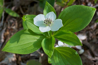 Canadian Bunchberry (Cornus canadensis) also know as creeping dogwood.