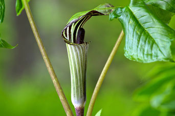 Jack-in-the-Pulpit (Arisaema triphyllum) a native plant in bloom at Distant Hill Gardens.