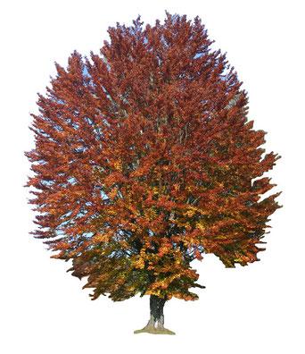 Rotbuche  (Fagus sylvatica ) im Herbst gehört zur Familie der Birkengewächse