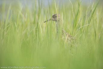 Im Grasland (Kampfläufer)