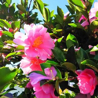 「さざんか、さざんか咲いた道…」