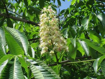 トチの木の花です。秋には大きな実が(5/19)。