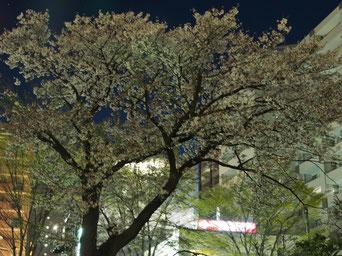 平成最後の夜桜。