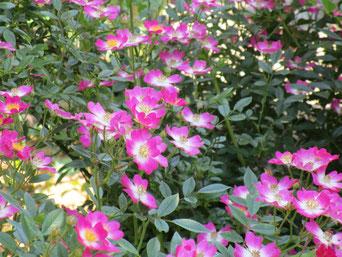 「安曇野」次々と咲いてくれます。