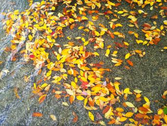 コラッセふくしまにある池にもケヤキの落ち葉が。