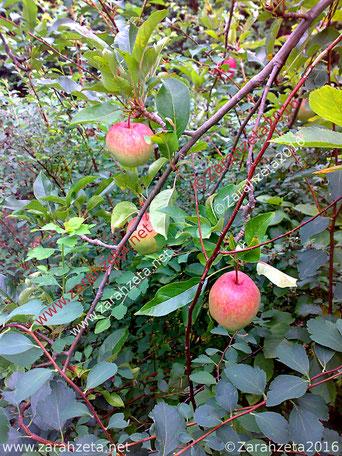Zarahzetas Texte mit Rote Äpfel am Baum