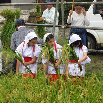 十社大神 刈女が手刈りでイセヒカリを収穫