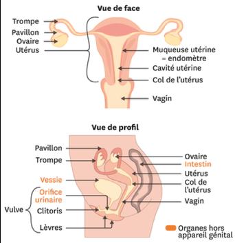 Schémas simplifiés des organes génitaux féminins internes