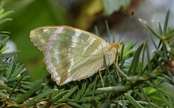 Unterseite eines frisch geschlüpften Weibchens des Kaisermantels