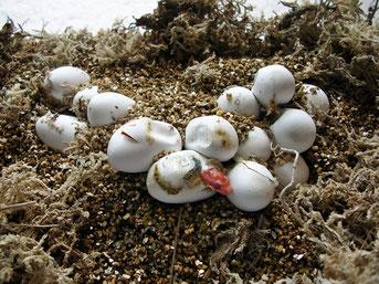 schlüpfende Kornnatter