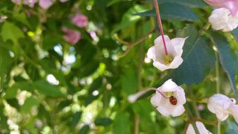 Marienkäfer sexueller Blütenbesuch Blumenparadies intime Begegnung