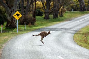 道路を渡るカンガルー
