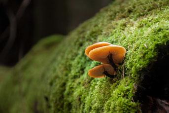 Pilwanderung mit dem Pilzcoach. Speisepilze und Giftpilze erkennen lernen.