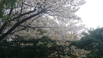 クロイツの山桜