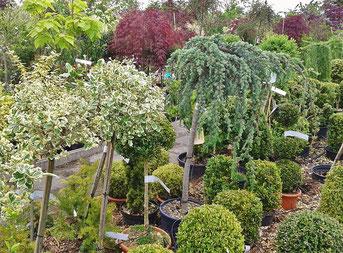 Buchsbaum im Gartenfachhandel