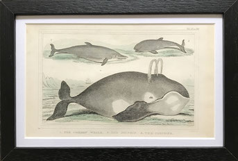 Set of 13 Hand Coloured Engravings of Animals, Birds and Insects c1830