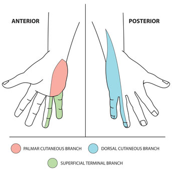sensory innervation of the ulnar nerve