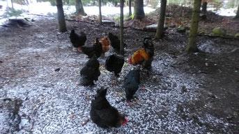 Die Hühner wollen versorgt werden.