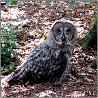 Great gray Owl (Strix, nebulosa)