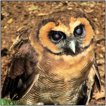 Malaysian wood owl (Strix leptogrammica)