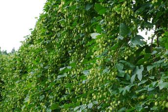 ホップはアサ科つる性多年草で、長さは10m程にも →