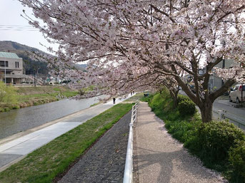 桜も満開桜な季節