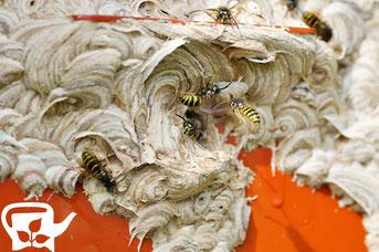 Wespennest im Insektenhotel 09/2012