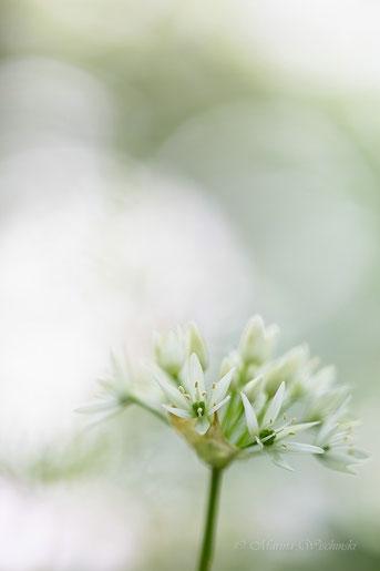 Bärlauchblüte mit Flares