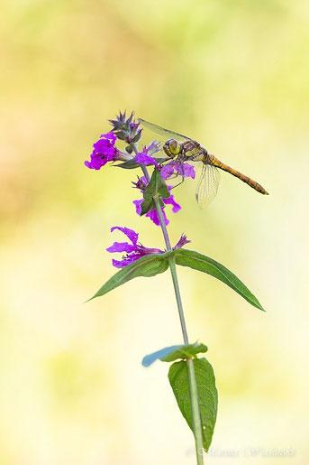 Heidelibelle (Sympetrum vulgatum)