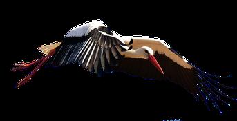 Storch, Vogel
