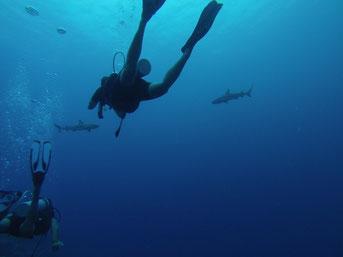Plongée avec les requins à pointe noire