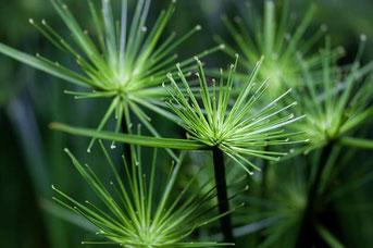 Papyrus Grünpflanze -  Bild Pixabay