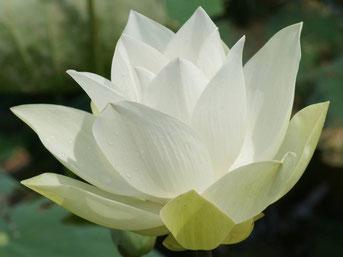 signification du om de la fleur de lotus site de. Black Bedroom Furniture Sets. Home Design Ideas