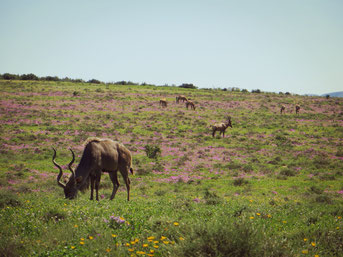 Antilopen auf einer Blumenwiese