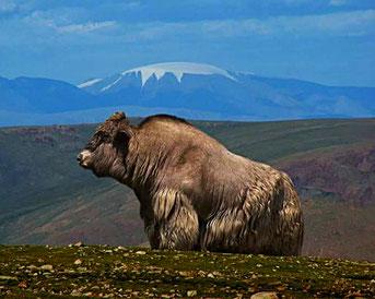 Yak Stier der Mongolei