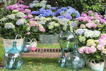 """©Magical Four Seasons, l'hortensias labéllisé """"fleurs de france"""" changeant 4 fois de couleurs lors de sa floraison"""