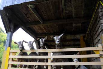Ziegen schauen neugierig über die Abschrankung des Auslaufs