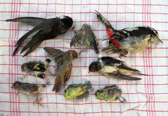 Diese neun Vögel wurden bei der Wildvogelhilfe Leipzig abgegeben, nachdem die Finder sie den Katzen abgenommen hatten. Foto: NABU Leipzig