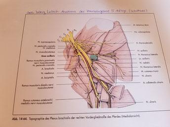 Abbildung aus: König Liebich Anatomie der Haussäugetiere 5. Auflage, Schattauer Verlag