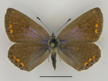 Hauhechel-Bläuling Polyommatus icarus in Sachsen Tagfalter Pollrich