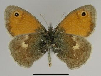 Kleines Wiesenvögelchen Coenonympha pamphilus in Sachsen Tagfalter Pollrich