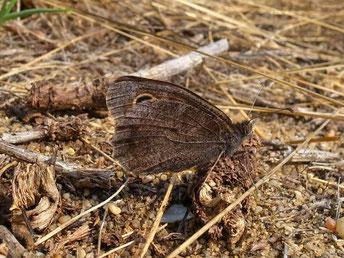 Eisenfarbener Samtfalter Hipparchia statilinus in Sachsen Tagfalter Pollrich