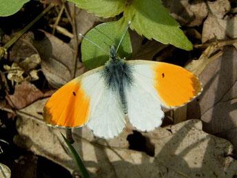 Anthocharis cardamines (Männchen). - Bienitz, Rodelbahn 01.05.2006 - D. Wagler