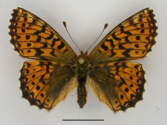 Hochmoor-Perlmutterfalter Boloria aquilonaris in Sachsen Tagfalter Pollrich