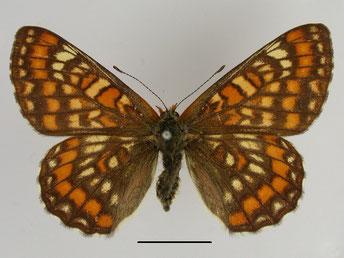 Eschen-Scheckenfalter Euphydryas maturna in Sachsen Tagfalter Pollrich