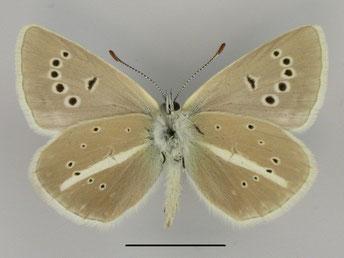 Streifen-Bläuling Polyommatus damon in Sachsen Tagfalter Pollrich